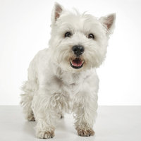 West Highland Terrier Pflege